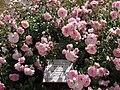 "Rosa ""Bonica"", o MEIdomonac. 04.jpg"