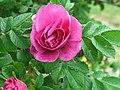 Rosa a1.jpg
