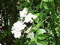 Rosa beggeriana1.jpg