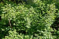 Rosa pimpinellifolia, Burnet rose, Scotch rose at Myddelton House, Enfield, London 02.jpg