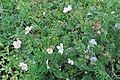 Rosa pulverulenta kz01.jpg