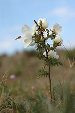 Rosa spinosissima.JPG