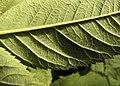 Rosa villosa leaf (06).jpg