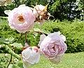 Rosarium Baden Rosa 'Champney's Pink Cluster' Champney 03.jpg