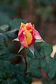 Rose, Manyo - Flickr - nekonomania (13).jpg