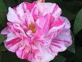 Rose- Rosa Mundi.JPG