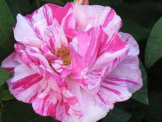 Rosa gallica - R. gallica var. officinalis 'Versicolor' (Rosa mundi)