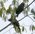 Rose-throated Parrot. Amazona leucocephala - Flickr - gailhampshire (1).jpg