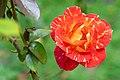 Rose (43028819030).jpg
