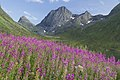 Rosebay willowherb and Stormoa Senja, Troms, Norway, 2014 August.jpg
