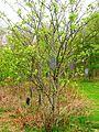 Rowan Wish Tree, Eglinton Country Park crop.JPG