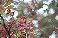 Rowanberry (176891175).jpeg