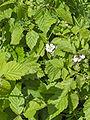 Rubus fruticosus(01).jpg
