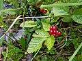 Rubus saxatilis Leutasch.jpg
