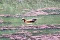 Ruddy shelduck at Chitwan National Park.jpg