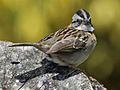 Rufous-collared Sparrow RWD3p.jpg