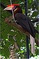 Rufous Hornbill - Buceros hydrocorax.jpg