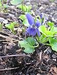 Ruhland, Grenzstr. 3, Duftveilchen im Garten, blau blühend, Frühling, 12.jpg