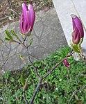 Ruhland, Grenzstr. 3, Purpur-Magnolie vor dem Haus, Blütenknospen öffnend, Frühling, 03.jpg