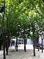 SK 南韓 Korea tour 明洞 22 Myeong-dong 三民主義大同盟 trees July-2013.JPG