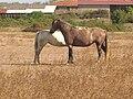SMSA chevaux.JPG