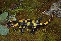 Salamandra salamandra 04 by-dpc.jpg