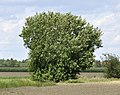 Salix-caprea-01-fws.jpg