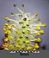Salix purpurea sl4.jpg