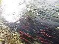 Salmon run at Adams River 2010 (5074070231).jpg