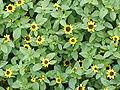 Sanvitalia procumbens1.jpg