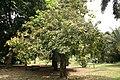Sapindus Saponaria - 04.jpg