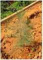 Sapling of Casuarina equisetifolia.jpg