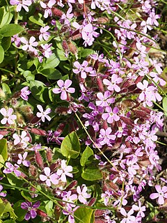 <i>Saponaria ocymoides</i>