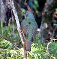 Satin Bowerbird. Female. Ptilinorhynchus violaceus - Flickr - gailhampshire (2).jpg