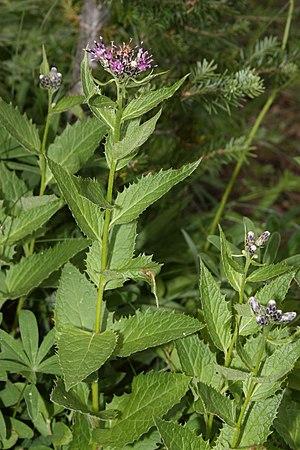 Saussurea americana - Saussurea americana in Mount Rainier National Park