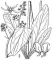 Saxifraga pensylvanica BB-1913.png