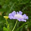 Scabiosa caucasica-IMG 0712.jpg