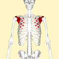 Scapula - anterior view.png