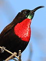 Scarlet-chested sunbird, Chalcomitra senegalensis, at Lake Chivero, Harare, Zimbabwe - male (21856920502).jpg