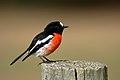 Scarlet Robin 0401.jpg