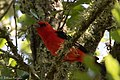 Scarlet Tanager Smith Oaks High Island TX 2018-04-17 14-14-05 (41048906285).jpg