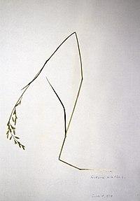 Schedonorus pratensis BW-1979-0618-0492.jpg