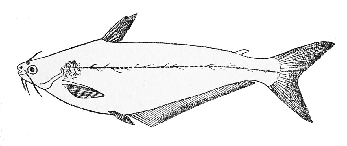 African Butter Catfish Wikipedia