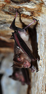 Schneider's Leaf-nosed Bat Hipposideros speoris DSC 9833 copy filtered copy.jpg