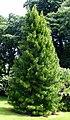 Sciadopitys verticillata scottzona.jpg