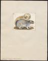 Sciurus indicus - 1700-1880 - Print - Iconographia Zoologica - Special Collections University of Amsterdam - UBA01 IZ20400057.tif