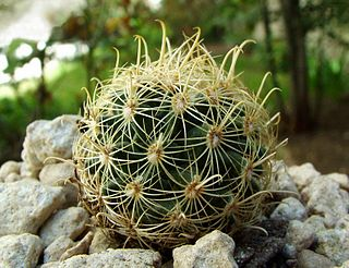 <i>Sclerocactus brevihamatus</i> species of plant