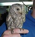 Screech owl named Fod.jpg