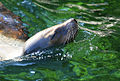 Sea-lion-1.jpg