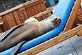 Sea Lion - Galapagos (45901324335).jpg